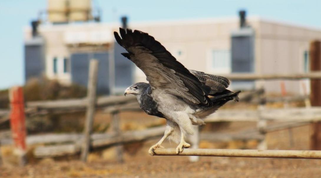Aguila Gamelas